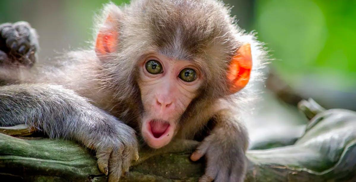 """Neuralink ha impiantato un chip nel cervello di una scimmia per farla giocare ai videogiochi. Musk: """"Sembra felice"""""""