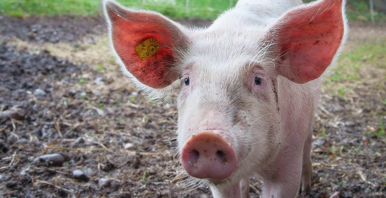 Anche i maiali giocano ai videogiochi, per il bene della scienza